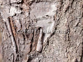 チシマザクラの画像 p1_11