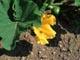 カボチャの花