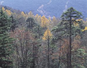 黄葉のカラマツ林(太郎山林道/栃木県日光市)