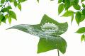 葉っぱと水滴(合成)