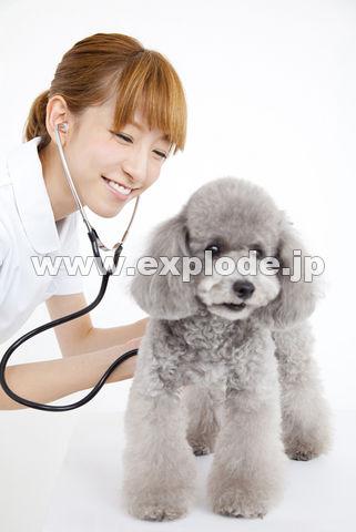 トイプードルを診察する獣医看護師