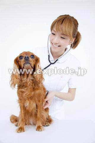 キャバリアを診察する獣医看護師