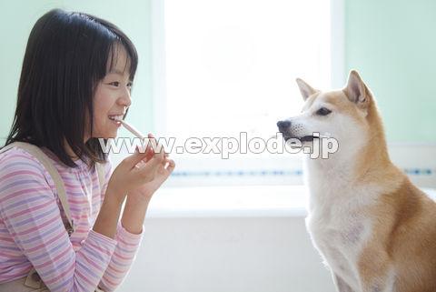 歯ブラシをくわえる柴犬と歯磨きをする女の子