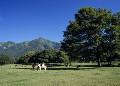 戸隠牧場の牛