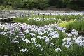 山田池公園花しょうぶ園のハナショウブ