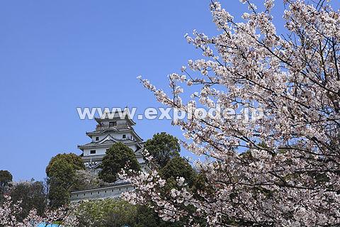唐津城と桜