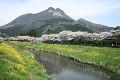 桜と菜の花 大分川