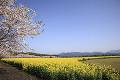 桜と菜の花 西都原
