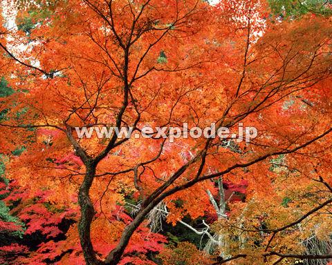 秋 紅葉 森林