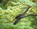 001:アオゲラ Picus awokera(♂)