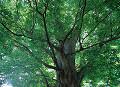 005: ケヤキ 野川公園 東京都調布市 市指定天然記念物