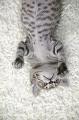010:雉虎猫 ミックス 雑種