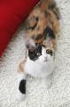 029:三毛猫 ミックス 雑種