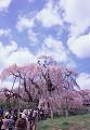 005:三春滝桜
